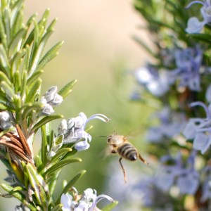 rosemary flowers and bee