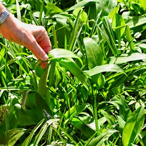 foraging for wild garlic