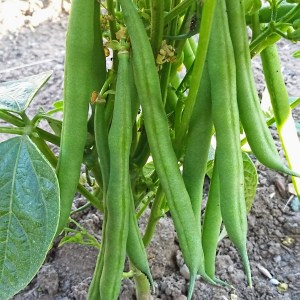 French beans growing