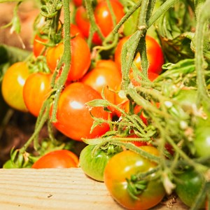 polytunnel tomatoes