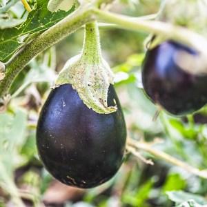 aubergine growing