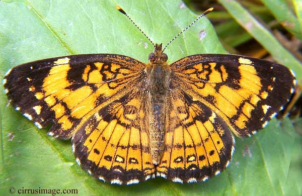 Pearl Crescent Butterfly Phyciodes Tharos North