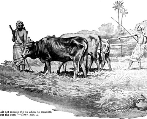 """""""Thou shalt not muzzle the ox when he treadeth out the corn."""" (Deuteronomy 25:4.) (illustration circa 1900 by James Shaw Crompton)"""