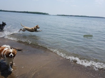 dog flying through the air to get stick