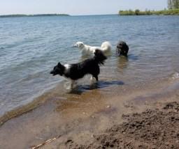 Three dogs on a beach walk