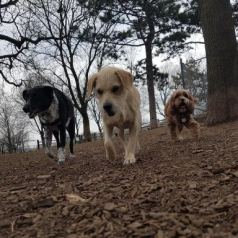 The three dogs on their walk at the park