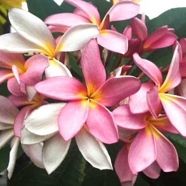 Singapore pink flowers