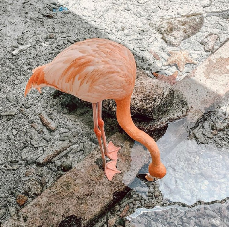 Curacao Flamingo