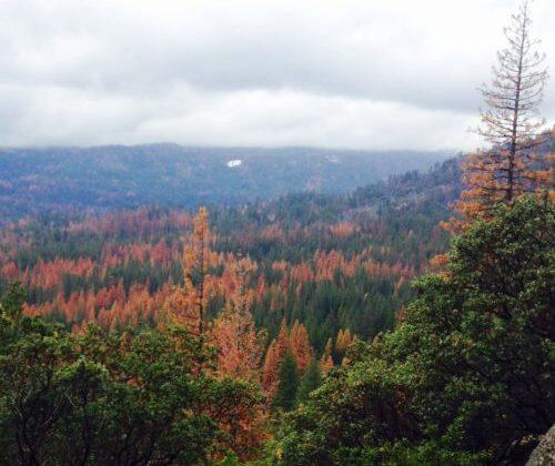 Drought induced tree mortality, Wawona, Yosemite National Park
