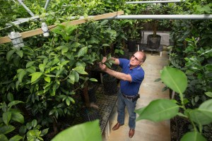 Fred Gmitter examining citrus trees in a greenhouse at the Citrus Research and Education Center in Lake Alfred.  Photo taken 03/08/16.-mandarins