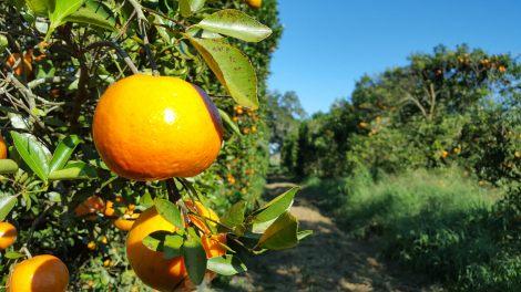 Tangerine citrus crop