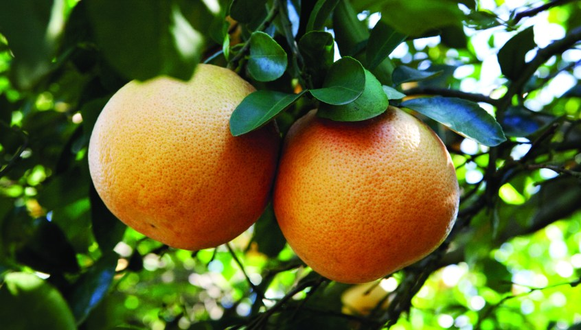 This season's Texas grapefruit crop is expected to be 5.2 million boxes, approximately half the size of Florida's grapefruit crop.