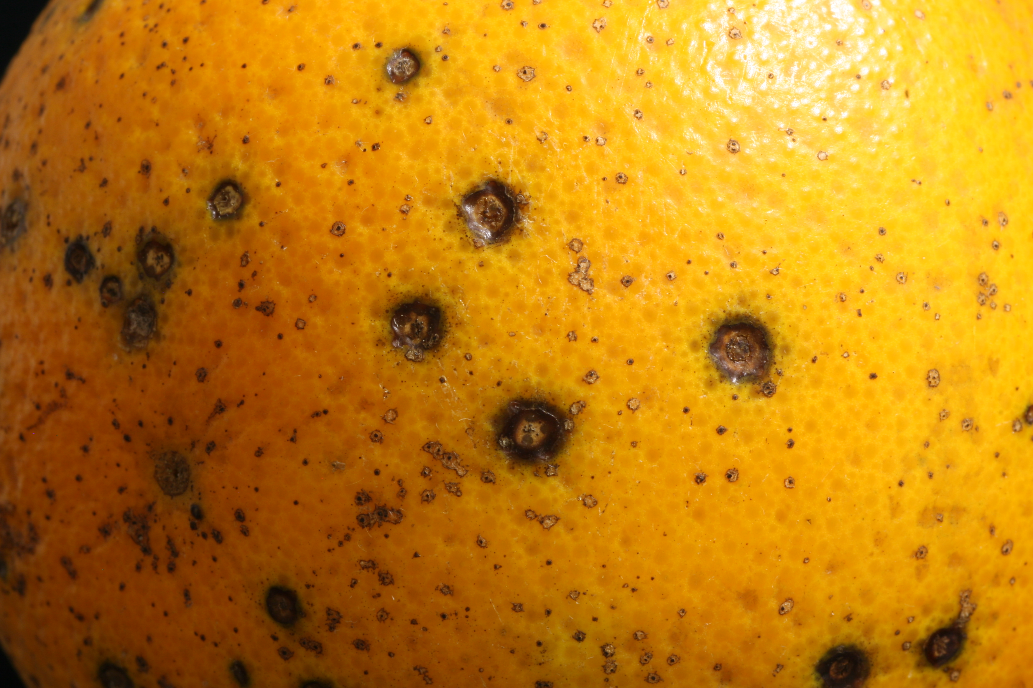 """Featured image for """"What to Do About Citrus Black Spot"""""""