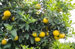 Grapefruit on the tree, near Navelencia, California
