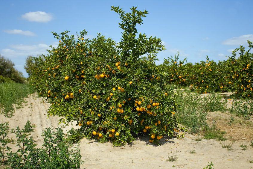 florida citrus