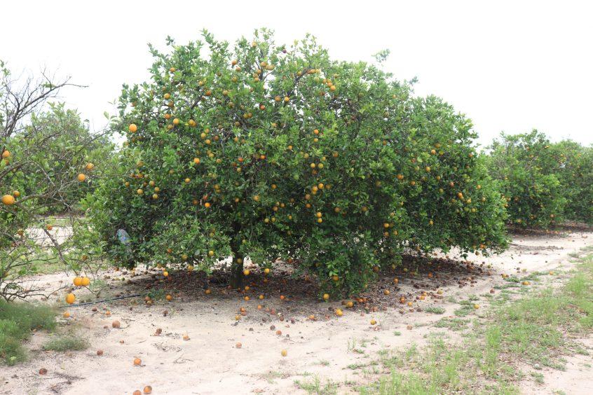 fruit drop