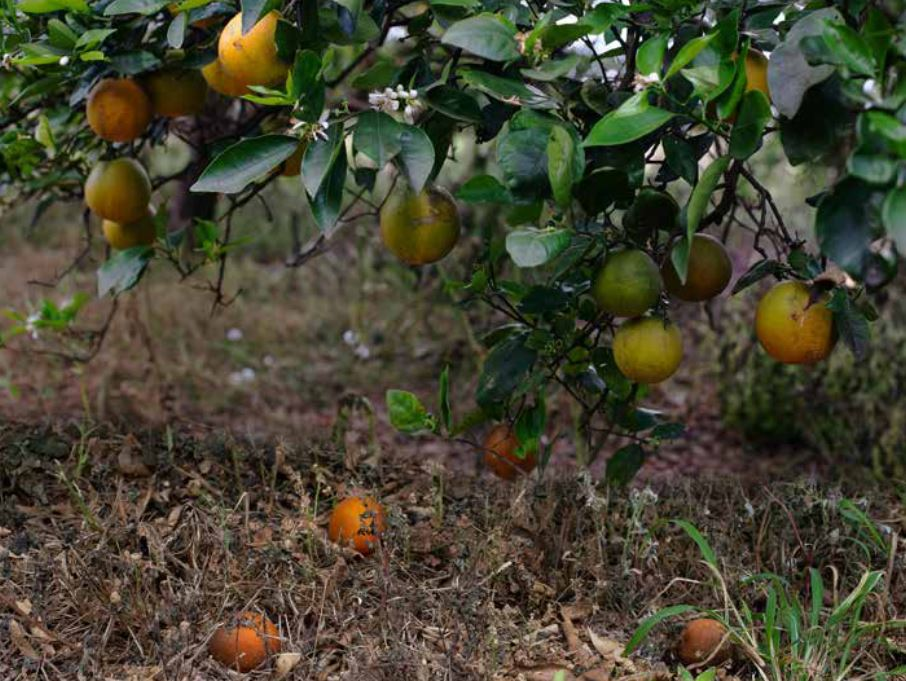 """Featured image for """"Understanding Physiological Fruit Drop of Citrus"""""""