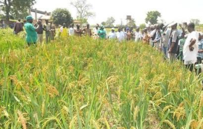 Nigeria Intensifies Rice Production Through Anchor Borrowers' Scheme