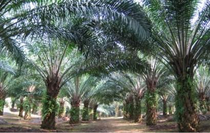 Edo To Distribute 25,000 Oil Palm Seedlings