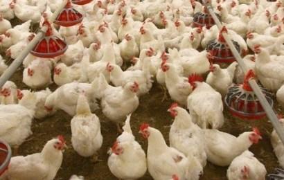 FEC Approves N665m For Poultry Farmers In Borno, Yobe, Plateau, Zamfara