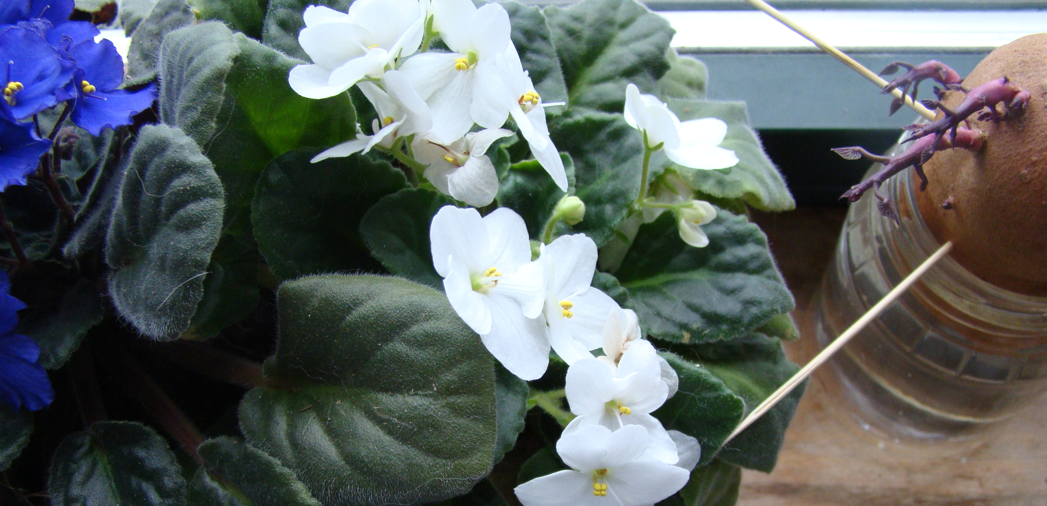 A sweet potato is sharing a windowsill with African violets.