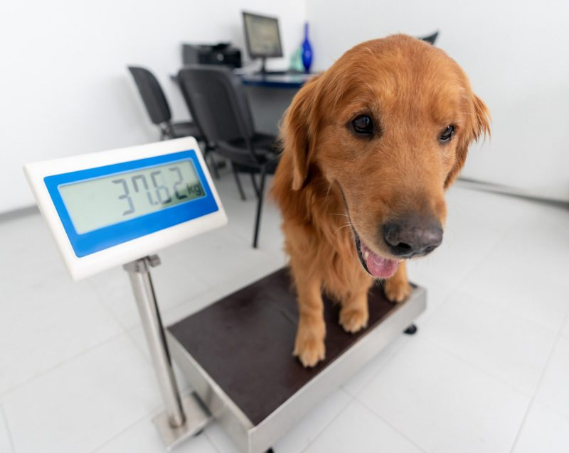 Weighting a big dog at the vet