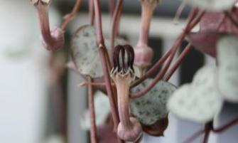 ámpolna gyertyavirág