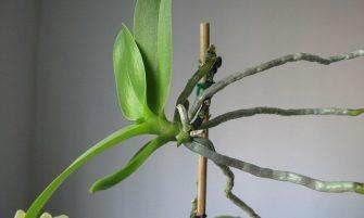orchidea szaporítása