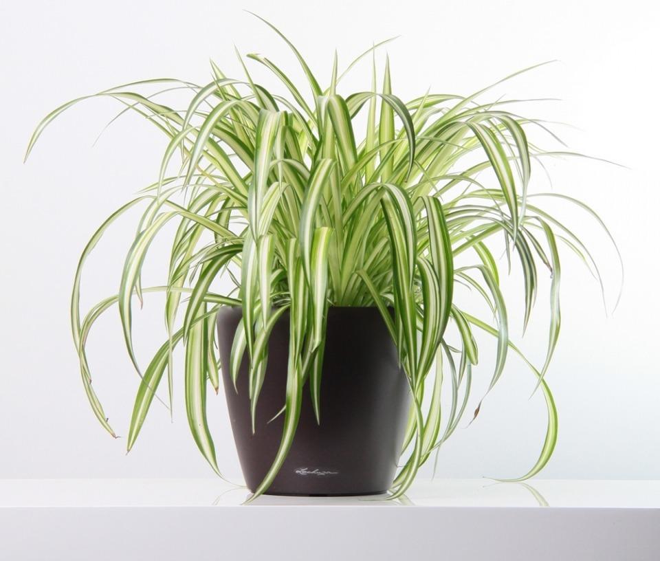 Chlorophytum elatum