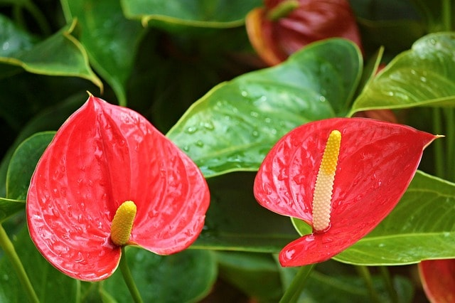 Flamingóvirág (Anthurium)