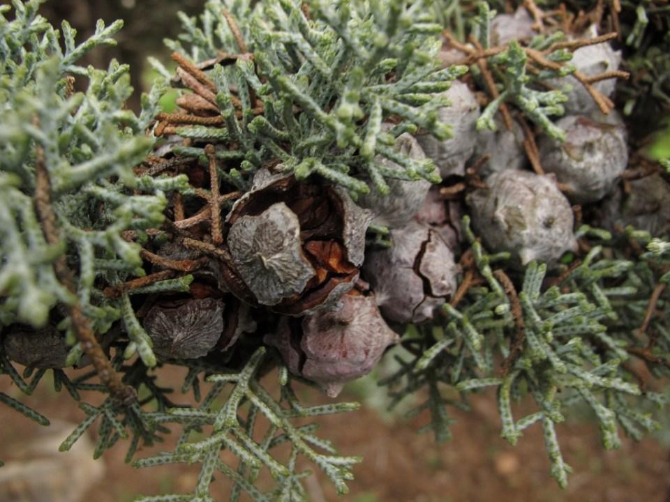 arizónai ciprus