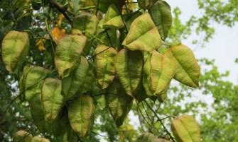 bugás csörgőfa
