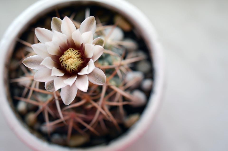 csupaszkelyhű kaktusz