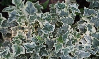 fehér-tarka levelű borostyán