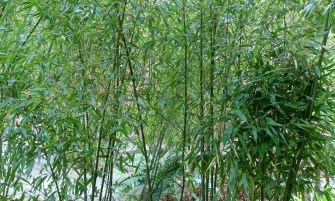kínai aranycsíkos bambusz