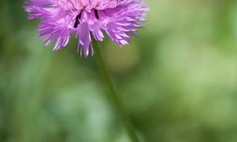 pézsma búzavirág