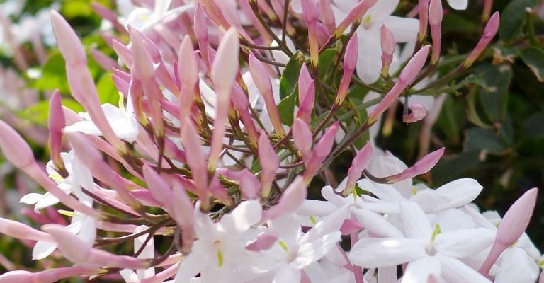 sokvirágú jázmin