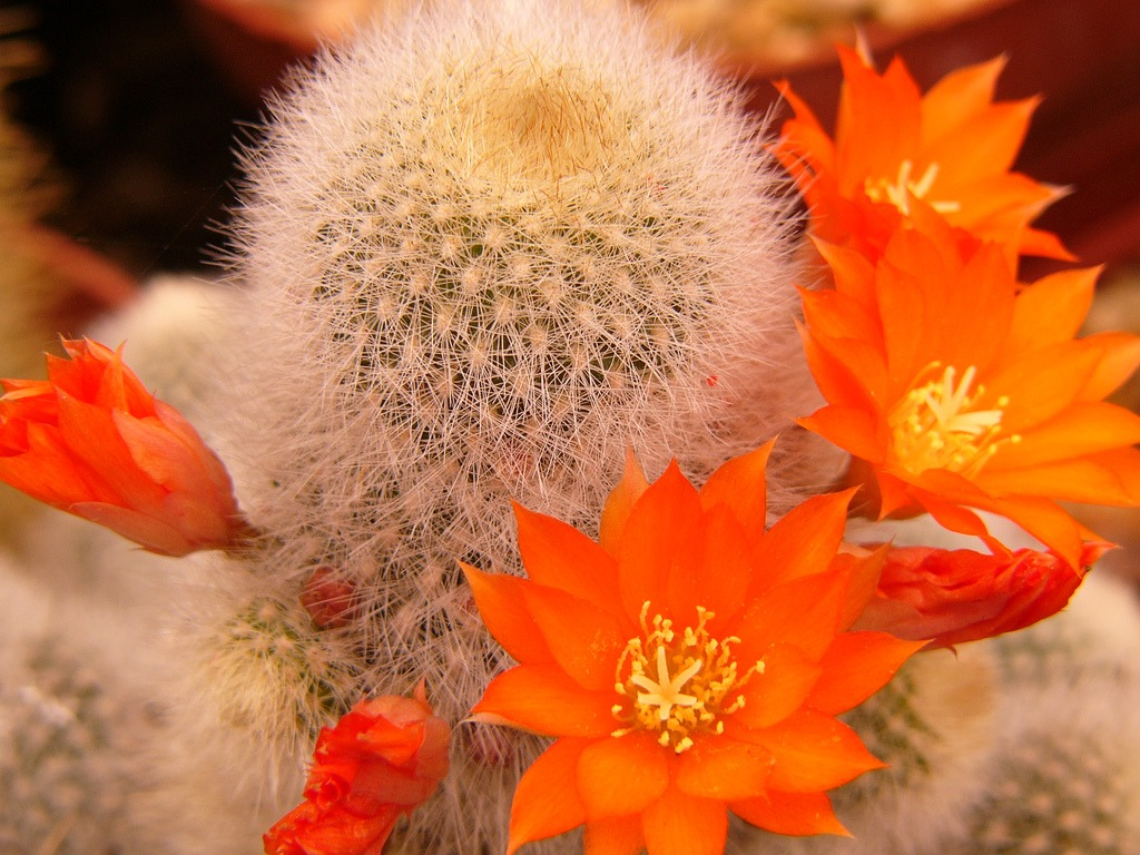 törpe kaktusz