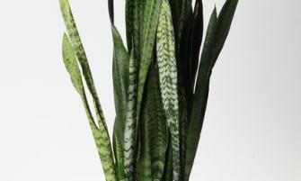 Sansevieria trifasciata 'Zeylanica'
