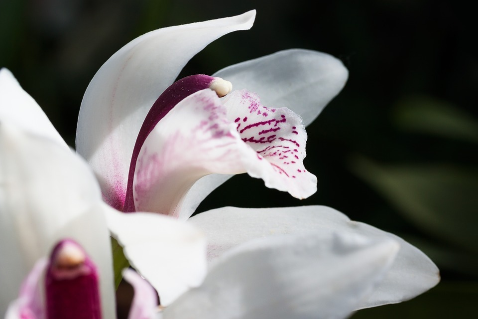 csónakorchidea