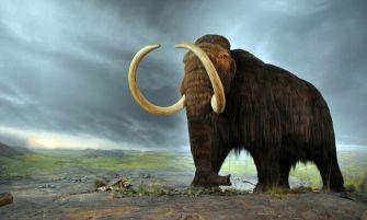 gyapjas mamut