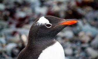 szamárpingvin
