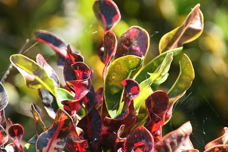 Codiaeum variegatum 'Spirale'