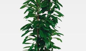 Ficus cyathistipula