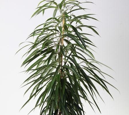 Ficus longifolia
