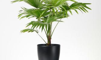 Kínai legyezőpálma (Livistona chinensis)