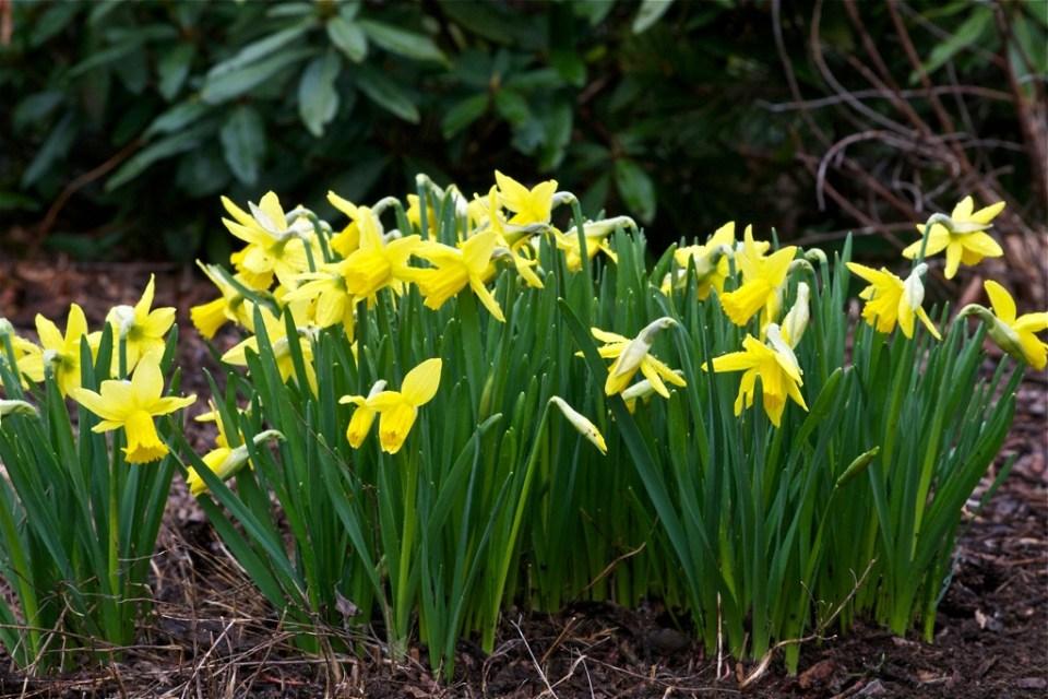 Narcissus 'Little Gem'