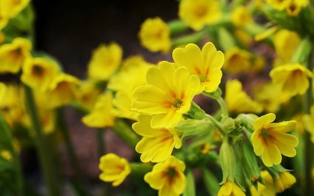 Tavaszi kankalin (Primula veris)