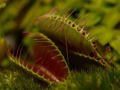 Vénusz légycsapója (Dionaea muscipula)