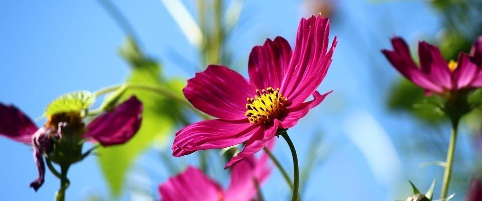 pillangóvirág